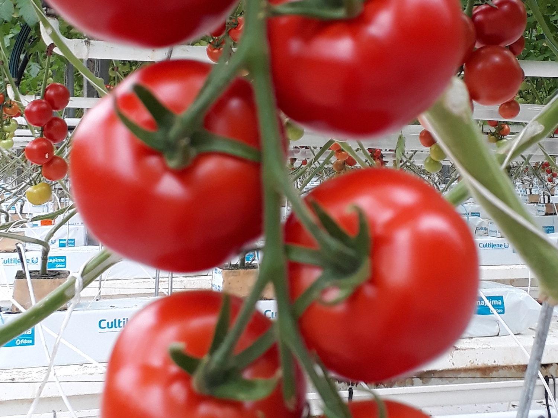TomatesBINDA2-BD